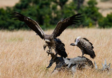 Los pájaros despredadores se están sentando en la tierra kenia tanzania Fotos de archivo