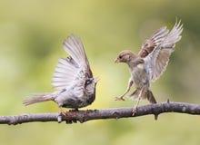 Los pájaros enojados de la diversión que agitan plumas y discuten en una rama en parque de la primavera Imagen de archivo libre de regalías