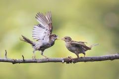 Los pájaros enojados de la diversión que agitan plumas y discuten en una rama en parque de la primavera Foto de archivo libre de regalías