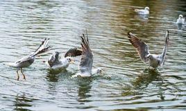 Los pájaros escardan las alas un despegue de la pluma para volar el agua un alcance del pico Foto de archivo