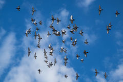 Los pájaros están volando Fotografía de archivo libre de regalías