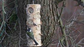 Los pájaros hermosos consiguen allí la comida en invierno metrajes