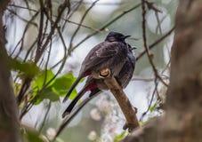 Los pájaros indios el rojo expresaron los pares del Bulbul tirados en su ambiente natural Foto de archivo libre de regalías