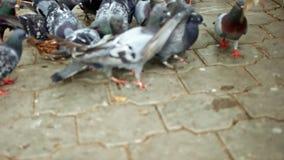 Los pájaros luchan para amplio seco almacen de metraje de vídeo