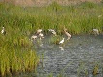 los pájaros Negro-capsulados del martín pescador están comiendo pescados en la laguna almacen de video