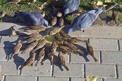 Los pájaros picotean el grano. Foto de archivo