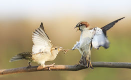 los pájaros que luchan en una rama en otoño parquean Imagenes de archivo