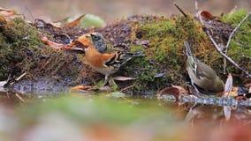 Los pájaros salvajes del canto beben el agua en el bosque del otoño almacen de video