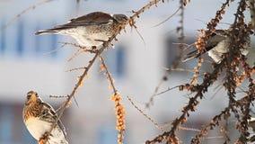 los pájaros salvajes en la ciudad comen bayas en un día soleado del invierno almacen de metraje de vídeo