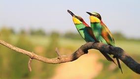 Los pájaros salvajes hacen una ceremonia de boda almacen de metraje de vídeo