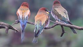 Los pájaros salvajes limpian sus plumas coloreadas almacen de metraje de vídeo