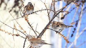 los pájaros salvajes se ahorran del hambre en los jardines de la ciudad almacen de metraje de vídeo