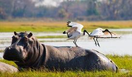 Los pájaros se están sentando en la parte de atrás de un hipopótamo botswana Delta de Okavango Fotos de archivo