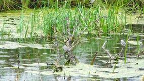 Los pájaros se sientan en las barras de árboles hundidos en el pantano almacen de video