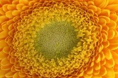 Los pétalos amarillos, los pistils y el corazón verde florecen Imagenes de archivo