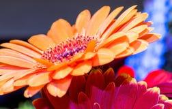 Los pétalos anaranjados de la flor se cierran para arriba Foto de archivo libre de regalías