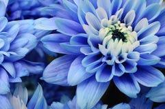 Los pétalos azules, los pistils y el corazón blanco florecen Imágenes de archivo libres de regalías