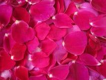 Los pétalos color de rosa de té de Rose dispersaron el campo como fondo Imagen de archivo libre de regalías