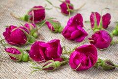 Los pétalos color de rosa de té de Rose dispersaron el campo como fondo Fotos de archivo libres de regalías