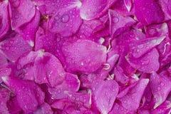 Los pétalos color de rosa de té de Rose dispersaron el campo como fondo sólido Fotos de archivo