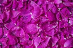Los pétalos color de rosa de té de Rose dispersaron el campo como fondo sólido Imágenes de archivo libres de regalías