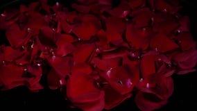 Los pétalos color de rosa rojos hacen girar en un fondo negro almacen de video