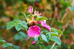 Los pétalos de rosas salvajes en los arbustos foto de archivo libre de regalías