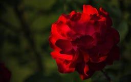 Los pétalos delicados de una rosa grande del rojo florecen Fotografía de archivo