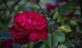 Los pétalos delicados de una rosa grande del rojo florecen Imagenes de archivo