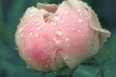 Los pétalos mojados rosados de la flor de la peonía con agua caen Imagenes de archivo