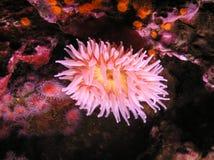 Los pétalos rosados de la flora subacuática Fotografía de archivo libre de regalías