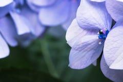 Los pétalos y el pistilo violetas azules macros del hortensia florecen en fondo borroso verde Fotos de archivo libres de regalías