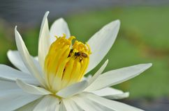 Los pólenes amarillos del lirio de agua blanca florecen con las abejas imagen de archivo libre de regalías