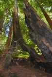 Los padres national forest redwood grove big sur california Stock Image