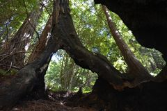Los padres national forest redwood grove big sur california Stock Photography