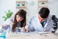 Los paleontólogos que miran los huesos de animales extintos fotos de archivo