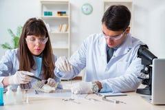 Los paleontólogos que miran los huesos de animales extintos imagen de archivo libre de regalías