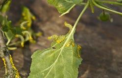Los parásitos comen las hojas de los manzanos Fotos de archivo libres de regalías