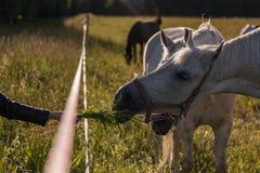 Los pares de alimentación de la muchacha de los caballos blancos pastan en un prado Imágenes de archivo libres de regalías