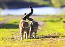 Los pares de amantes rayaron el gato que caminaba en hierba verde al lado de un Sun fotografía de archivo