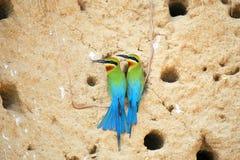 Pares de comedor de abeja atado azul Fotografía de archivo