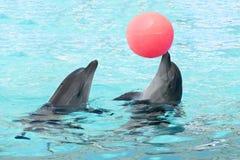 Los pares de delfínes juegan la natación de la bola en el agua azul clara de la piscina imágenes de archivo libres de regalías