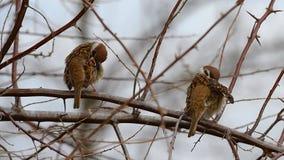 Los pares de gorriones en una rama en la primavera Foto de archivo libre de regalías