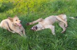 Los pares de jóvenes cruzan los perros perdidos que juegan en una hierba de la primavera Imágenes de archivo libres de regalías
