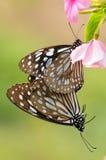 Los pares de la mariposa se están acoplando en la flor/el limniace de Tirumala Imagenes de archivo