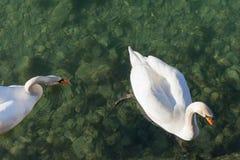 Los pares de los cisnes que nadan en el lago transparente riegan Foto de archivo libre de regalías