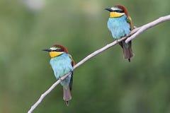 Los pares de los pájaros que se sentaban en una rama se inclinaron Fotos de archivo