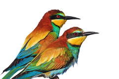 Los pares de pájaros exóticos salvajes se aíslan en blanco Imagen de archivo