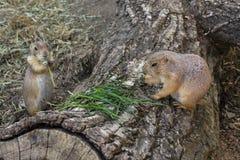 Los pares de perros de las praderas comen el tallo de la hierba verde en tronco Foto de archivo