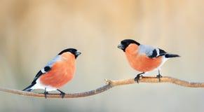 los pares de piñoneros de los pájaros con las plumas rojas que se sientan en una rama en invierno parquean Imágenes de archivo libres de regalías